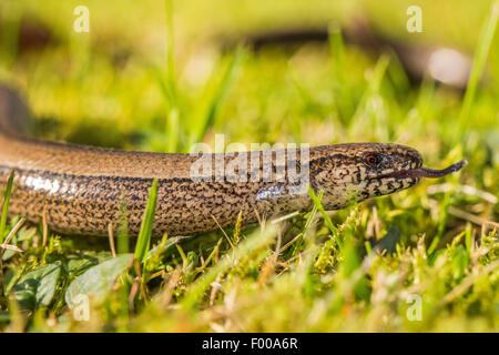 European slow worm, blindworm, slow worm (Anguis fragilis), darting tongue in and out, Germany, Bavaria, Isental - Stock Photo