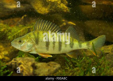 Perch, European perch, Redfin perch (Perca fluviatilis), swimming, Germany - Stock Photo