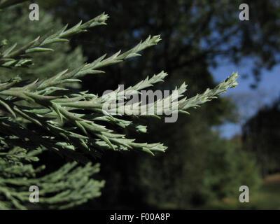 giant sequoia, giant redwood (Sequoiadendron giganteum) twigs - Stock Photo