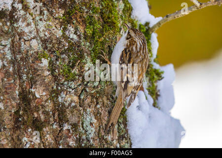 common treecreeper (Certhia familiaris), searching food at an oak in winter, Germany, Bavaria - Stock Photo