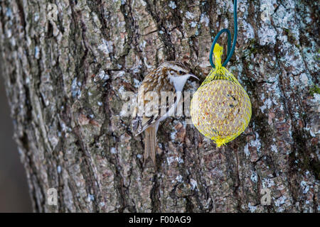 common treecreeper (Certhia familiaris), eating at a fat ball, Germany, Bavaria - Stock Photo