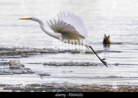 great egret, Great White Egret (Egretta alba, Casmerodius albus, Ardea alba), flying up from the ice sheet, Germany, - Stock Photo