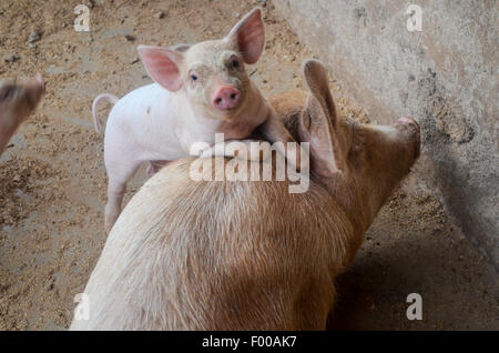 Pig and piglet - Stock Photo