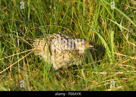 common pheasant, Caucasus Pheasant, Caucasian Pheasant (Phasianus colchicus), chick in a meadow, Germany, North - Stock Photo