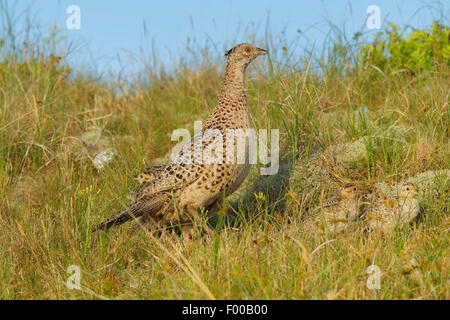 common pheasant, Caucasus Pheasant, Caucasian Pheasant (Phasianus colchicus), female in a meadow with chicks, Germany, - Stock Photo