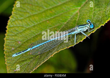 white-legged damselfly (Platycnemis pennipes), male on a leaf, Germany - Stock Photo