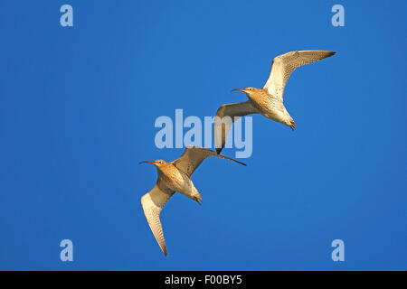 western curlew (Numenius arquata), two curlews flying side by side in the sky, Belgium - Stock Photo