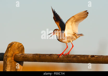 common redshank (Tringa totanus), standing on a wooden railing with outstretched wings, calling and alarming , Belgium - Stock Photo
