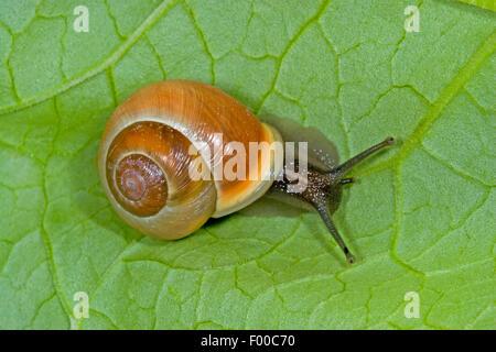 White-lip gardensnail, White-lipped snail, Garden snail, Smaller banded snail (Cepaea hortensis), banded snail on - Stock Photo