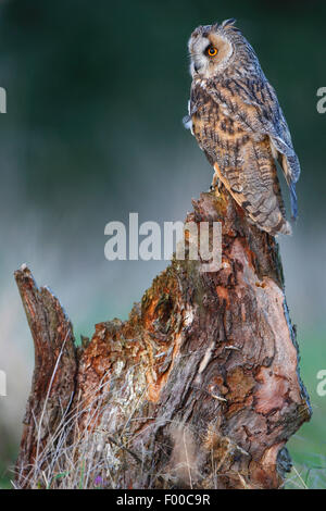 long-eared owl (Asio otus), perching on tree stump at forest's edge in evening light, Belgium - Stock Photo