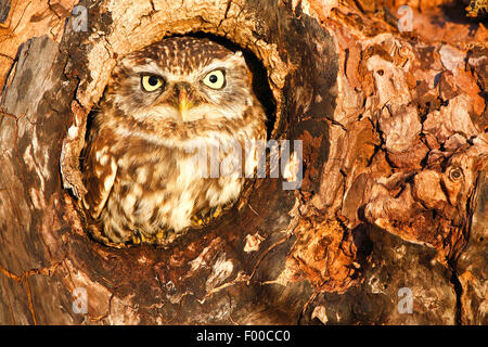 little owl (Athene noctua), sitting in a knothole and looking out, nest hole, Belgium - Stock Photo