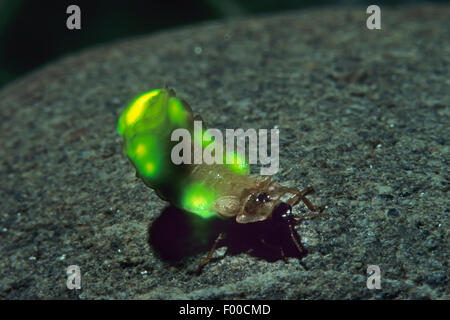 small lightning beetle (Lamprohiza splendidula, Phausis splendidula), female with light-emitting organ, shining, - Stock Photo