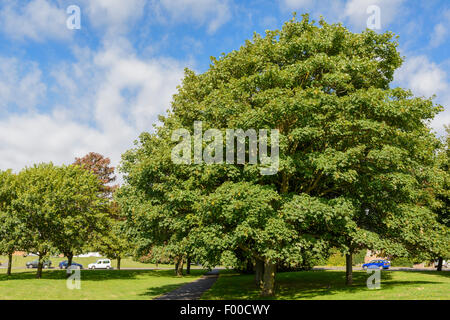Sycamore Maple tree (Acer pseudoplatanus )in a park during summer in the UK. Stock Photo