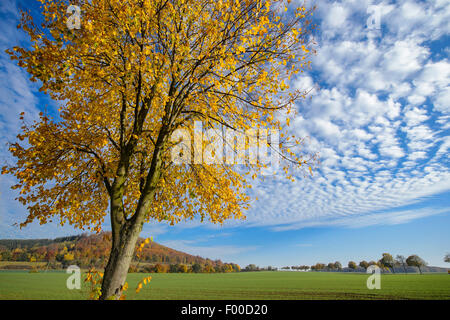basswood, linden, lime tree (Tilia spec.), basswood in autumn, Germany, Lower Saxony, Weserbergland, Bodenwerder - Stock Photo