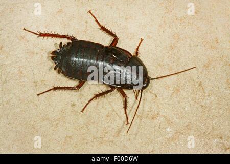 oriental cockroach common cockroach blatta orientalis female germany stock photo