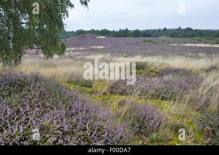 Common Heather, Ling, Heather (Calluna vulgaris), blooming heath, Germany, Mecklenburg-Western Pomerania, Naturschutzgebiet - Stock Photo