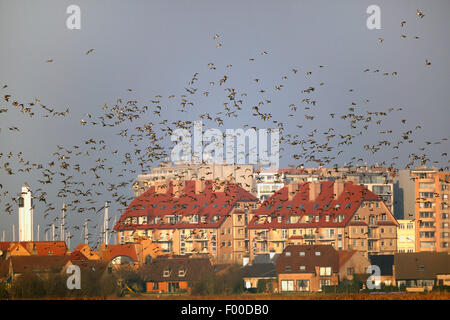 European wigeon (Anas penelope, Mareca penelope), flock in flight above field in winter along appartment buildings, - Stock Photo