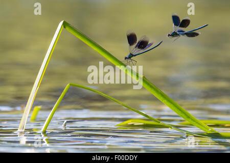banded blackwings, banded agrion, banded demoiselle (Calopteryx splendens, Agrion splendens), two banded blackwings - Stock Photo