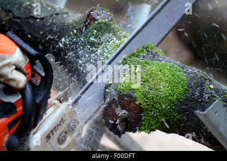 sawing through a tree trunk by chain saw, Germany - Stock Photo