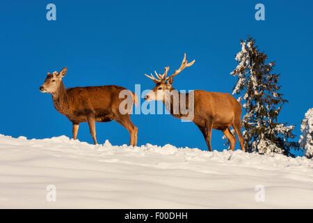 red deer (Cervus elaphus), two red deers in snowy landscape, Switzerland, Sankt Gallen - Stock Photo