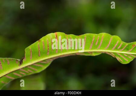 hart's tongue, European harts-tongue fern (Asplenium scolopendrium, Phyllitis scolopendrium), sori on the underside - Stock Photo