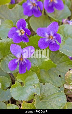 English violet, Sweet violet (Viola odorata), blooming, Germany - Stock Photo
