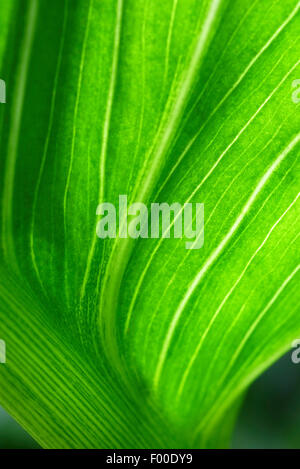green lily leaf in garden - Stock Photo