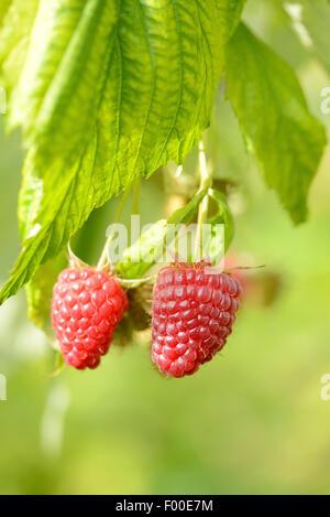 European red raspberry (Rubus idaeus), ripe raspberries on a branch, Germany - Stock Photo
