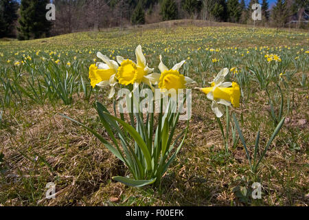common daffodil (Narcissus pseudonarcissus), blooming in a meadow, Germany - Stock Photo