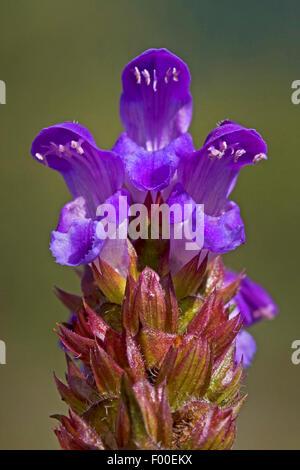 Large self-heal, Prunella loveliness (Prunella grandiflora), blooming, Germany - Stock Photo