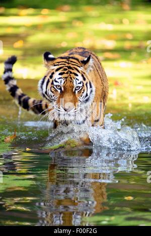 Siberian tiger, Amurian tiger (Panthera tigris altaica), walking through the water - Stock Photo