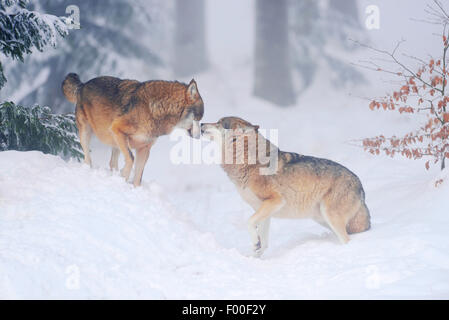 European Gray Wolf (Canis lupus lupus), two wolves greeting, Germany, Bavaria, Bavarian Forest National Park - Stock Photo