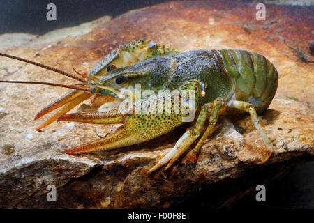 long-clawed crayfish (Astacus leptodactylus), on a stone under water, Germany - Stock Photo