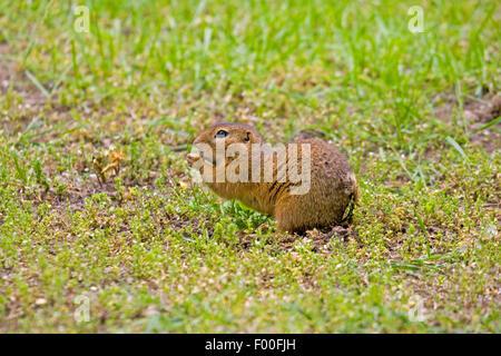 European ground squirrel, European suslik, European souslik (Citellus citellus, Spermophilus citellus), on the feed, - Stock Photo