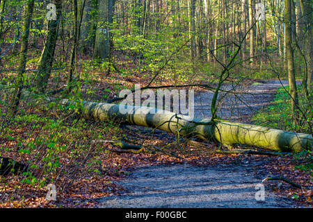 common beech (Fagus sylvatica), fallen trunk on forest path, Germany, Mecklenburg-Western Pomerania, Huetter Wohld - Stock Photo