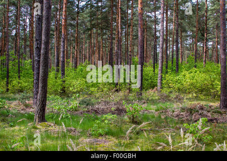 Scotch pine, Scots pine (Pinus sylvestris), pine forest and  young deciduous trees as undergrowth, Germany, Brandenburg, - Stock Photo