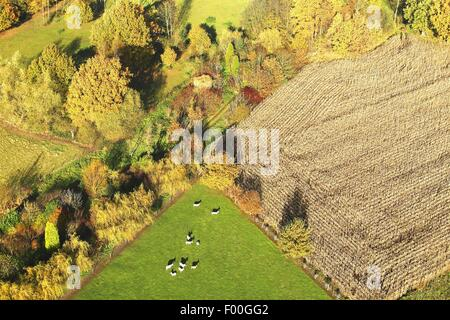 agricultural area with fields, grasslands, hedges and cows from the air in autumn, Belgium - Stock Photo