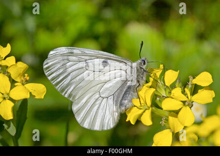 clouded apollo, black apollo (Parnassius mnemosyne), on yellow flowers, Germany - Stock Photo
