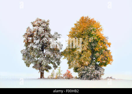 autumn trees in first snow, october, Germany - Stock Photo