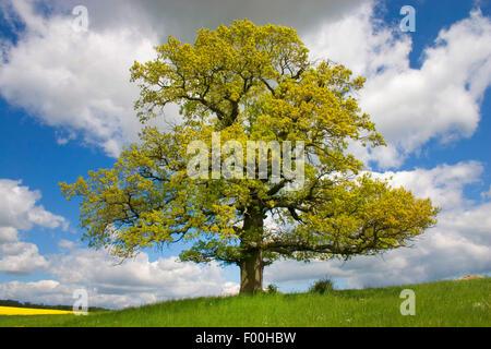 common oak, pedunculate oak, English oak (Quercus robur), with fresh leaves, Germany - Stock Photo