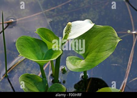 bog arum, wild calla (Calla palustris), blooming, Germany - Stock Photo