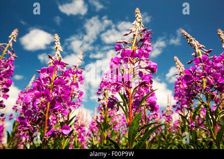Rosebay Willowherb, Chamerion angustifolium flowering in the Lyth Valley, Cumbria, UK. - Stock Photo