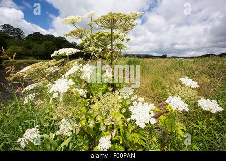 A Giant Hogweed, Heracleum mantegazzianum, an invasive toxic plant, on the banks of the River Ribble near Clitheroe, - Stock Photo
