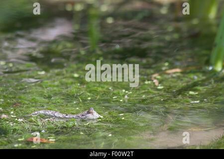 A mudskipper in shallow water. - Stock Photo