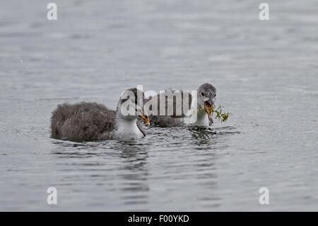Juvenile Coots (Fulica atra) feeding - Stock Photo