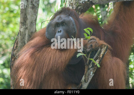 An extremely large male orangutan with the prominent cheek pads, throat pouch, and long hair characteristic of dominant - Stock Photo