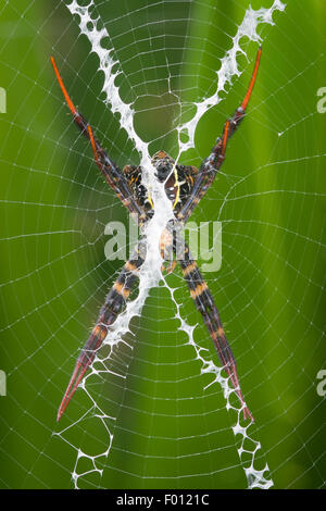 An orb-weaving spider rests in the center of its web; the stabilimentum is clearly visible. - Stock Photo