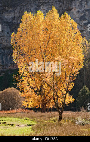 Poplar tree, Populus nigra, in autumn colours at Cañon del Rio Lobos Natural Park. Soria. Spain. - Stock Photo