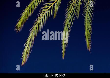 Green palm leaves on dark blue night sky in Mallorca, Balearic islands, Spain in July. - Stock Photo