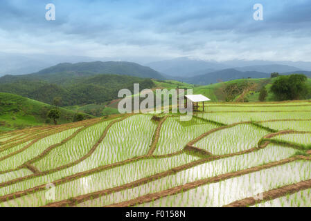 Green Terraced Rice Field in Pa Pong Pieng ,Chiang Mai, Thailand - Stock Photo